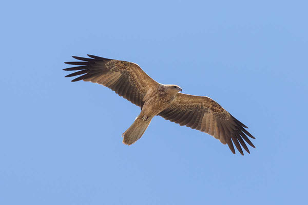 Keilschwanzweih, Whistling kite, Haliastur sphenurus - 5
