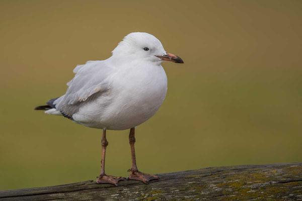 Silberkopfmöwe (Chroicocephalus novaehollandiae) - Silver gull - 6
