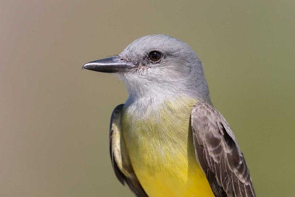 Trauerkönigstyrann (Tyrannus melancholicus); Tropical Kingbird - 3