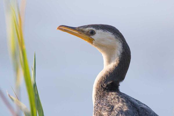 Kräuselscharbe (Microcarbo melanoleucos) - Little pied cormorant - 2