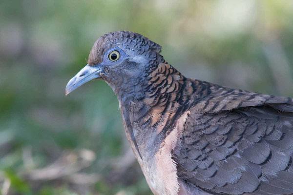 Kupfernackentaube (Geopelia humeralis) - Bar-shouldered dove - 2
