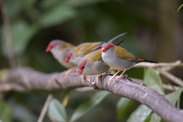 Dornastrild, Red-browed finch, Neochmia temporalis - 2