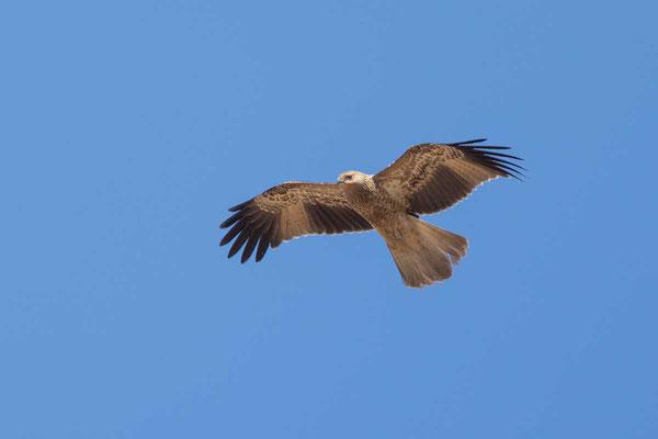 Keilschwanzweih, Whistling kite, Haliastur sphenurus - 4