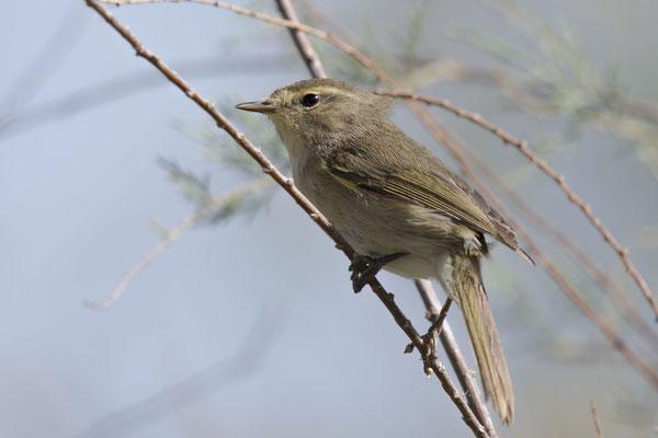 Kanarenzilpzalp (Phylloscopus canariensis) - Canary Islands Chiffchaff - 6