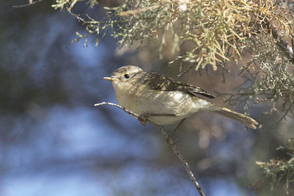 Kanarenzilpzalp (Phylloscopus canariensis) - Canary Islands Chiffchaff - 1