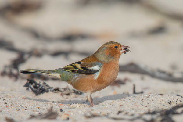 Buchfink (Fringilla coelebs) - Common chaffinch -7