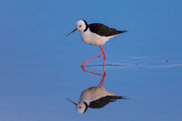 Weißgesicht-Stelzenläufer (White-headed stilt)-cc-1