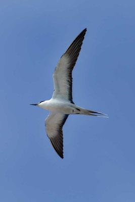 Rußseeschwalbe (Onychoprion fuscatus) - Sooty tern - 3