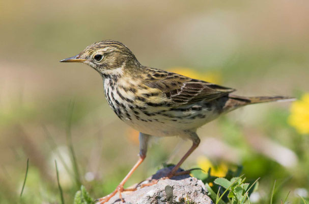 Wiesenpieper (Anthus pratensis) - Meadow Pipit - 11