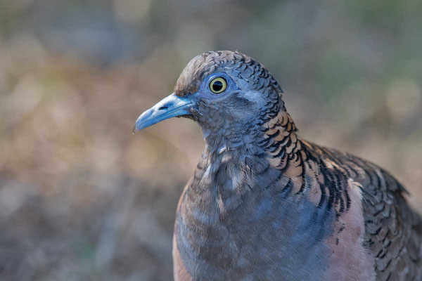 Kupfernackentaube (Geopelia humeralis) - Bar-shouldered dove - 3