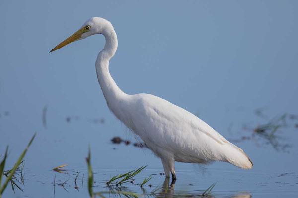 Mittelreiher (Ardea intermedia) - Intermediate egret - 2