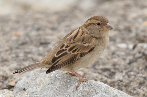 Haussperling (Passer domesticus) – House sparrow - 6