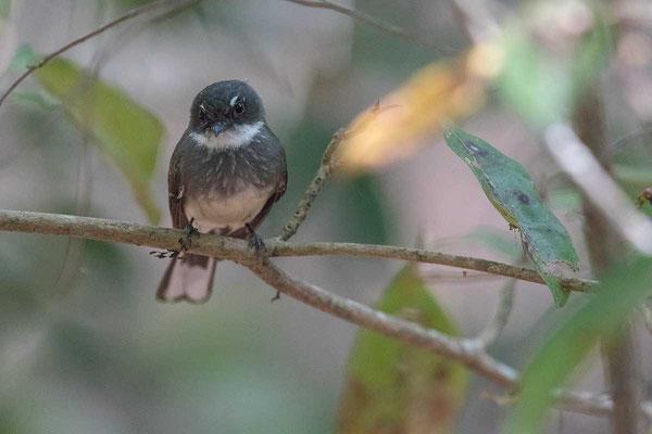 Strichelfächerschwanz, Northern Fantail, Rhipidura isura - 2