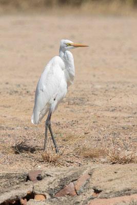 östlicher Silberreiher (Ardea modesta) - Eastern great egret - 3