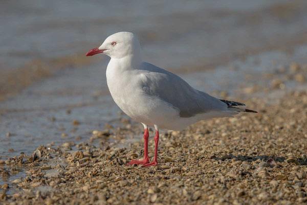 Silberkopfmöwe (Chroicocephalus novaehollandiae) - Silver gull - 7
