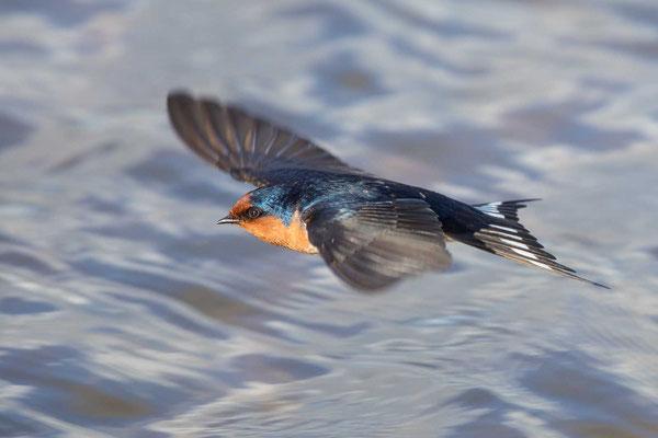 Glücksschwalbe,  Hirundo neoxena, Welcome Swallow - 6
