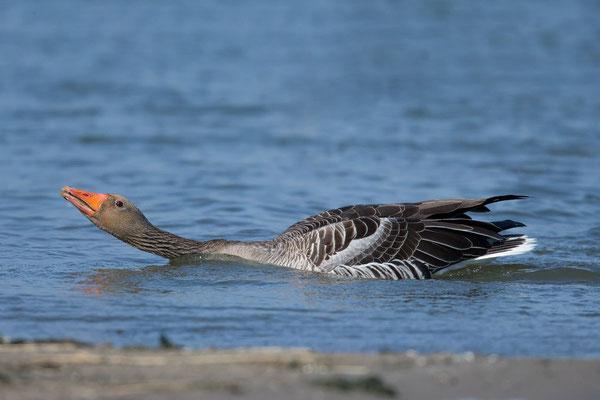 Graugans, Anser anser, Greylag goose - 3
