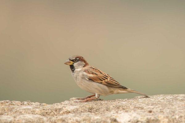 Haussperling (Passer domesticus) – House sparrow - 5