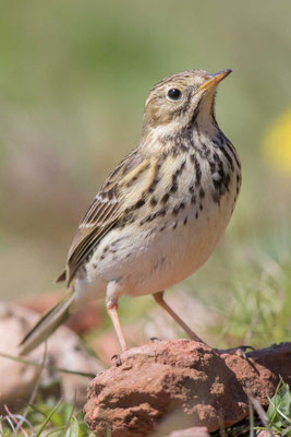 Wiesenpieper (Anthus pratensis) - Meadow Pipit - 8
