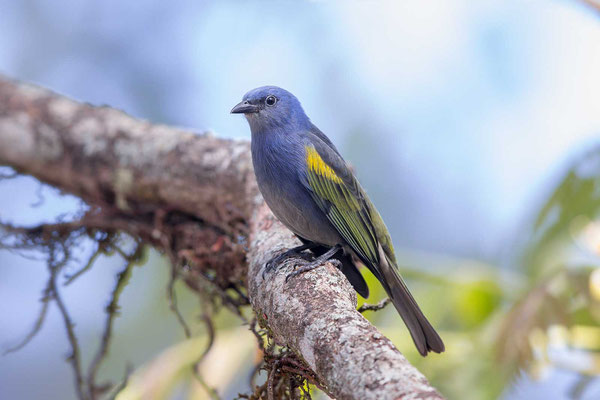 Schmucktangare (Thraupis ornata) - Golden-chevroned Tanager - 1