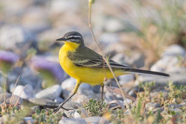 Schafstelze Typ dombrowskii  Western Yellow Wagtail; Motacilla flava 'dombrowskii' - 1