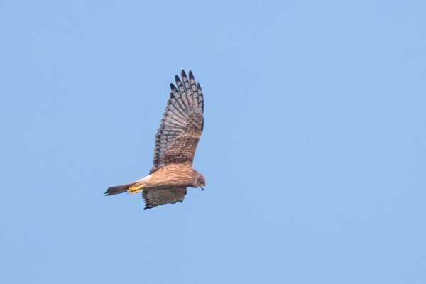 Sumpfweihe, Swamp Harrier, Circus approximans - 3