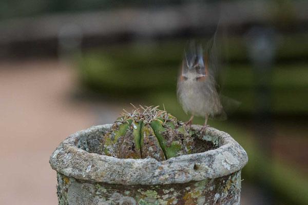 Morgenammer (Zonotrichia capensis) - Rufous-collared sparrow - 7
