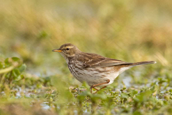Bergpieper, Water pipit, Anthus spinoletta - 1