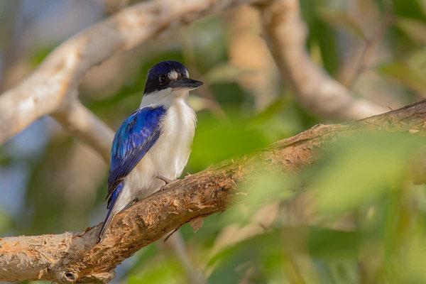 Spiegelliest (Todiramphus macleayii)  - Forest kingfisher - 1