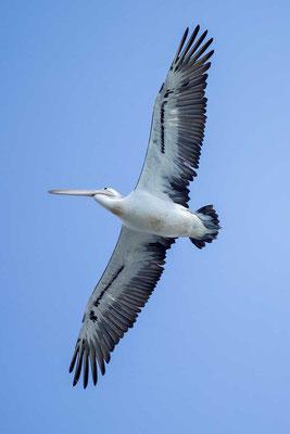 Brillenpelikan (Pelecanus conspicillatus) - Australian pelican - 6