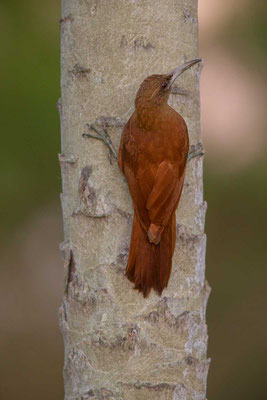 Fuchsroter Baumsteiger (Xiphocolaptes major) - Great Rufous Woodcreeper - 5