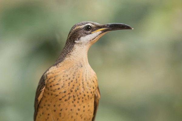 Weiblicher Viktoria-Paradiesvogel (Ptiloris victoriae) - 2