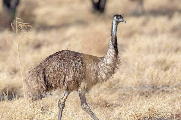 Emu (Dromaius novaehollandiae) - 2