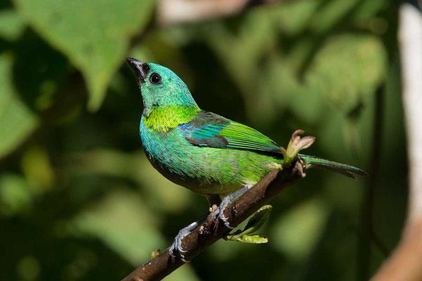 Dreifarbentangare (Tangara seledon) - Green-headed Tanager - 6
