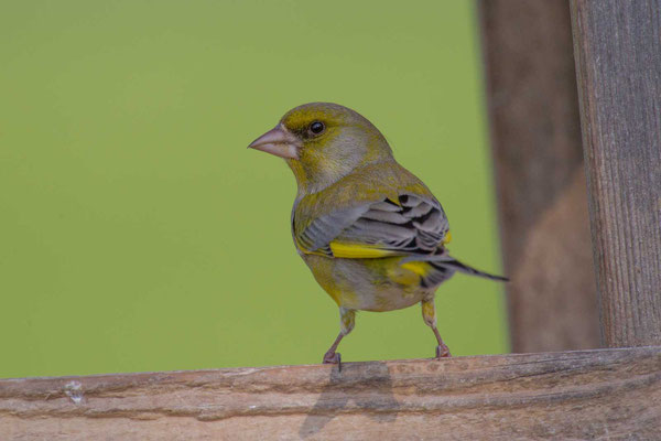 Grünfink (Carduelis chloris) - European greenfinch - 3