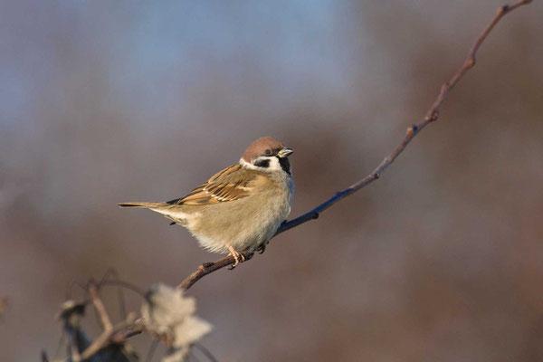 Feldsperling (Passer montanus) - Tree Sparrow - 9
