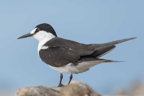Rußseeschwalbe (Onychoprion fuscatus) - Sooty tern - 6