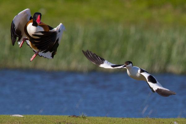 Säbelschnäbler (Recurvirostra avosetta) - 1