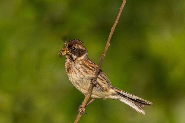 Rohrammer (Emberiza schoeniclus) - Reed Bunting - 4