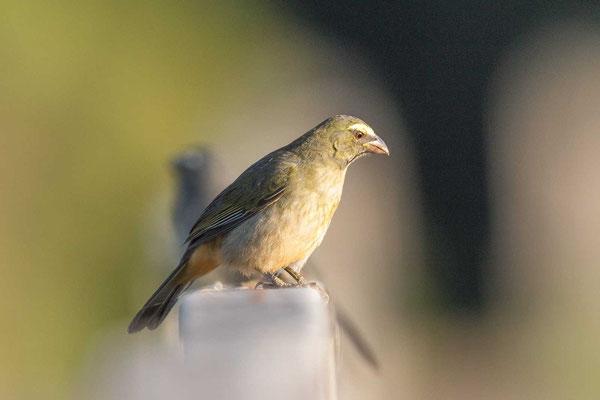 Grausaltator (Saltator coerulescens) - Greyish Saltator - 5