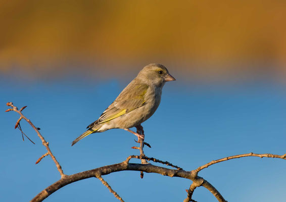 Grünfink (Carduelis chloris) - European greenfinch - 10