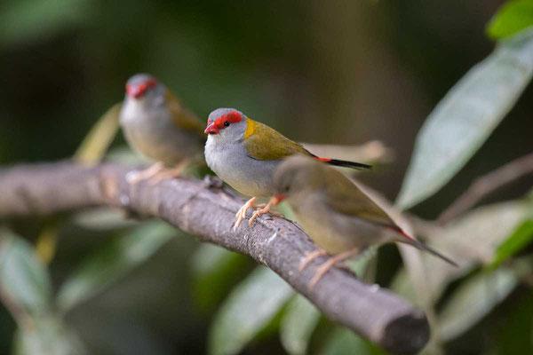 Dornastrild, Red-browed finch, Neochmia temporalis - 3