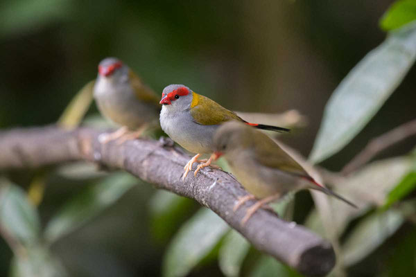 Dornastrild, Red-browed finch, Neochmia temporalis - 3