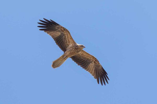 Keilschwanzweih, Whistling kite, Haliastur sphenurus - 6