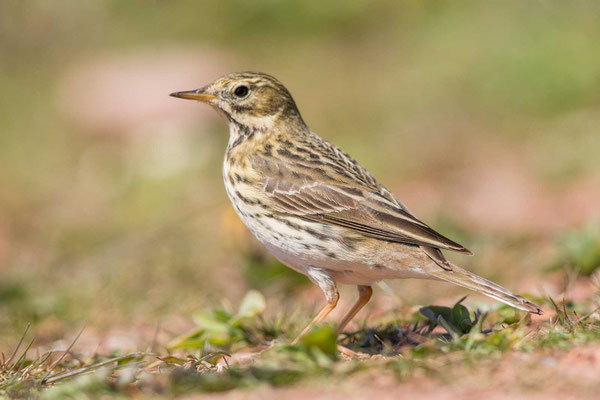 Wiesenpieper (Anthus pratensis) - Meadow Pipit - 10