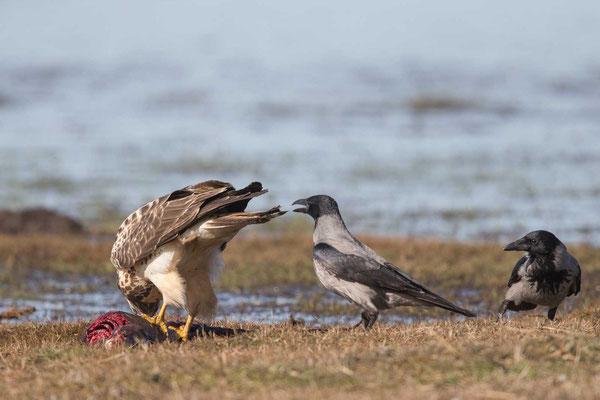 Nebelkrähe (Corvus corone) - 10
