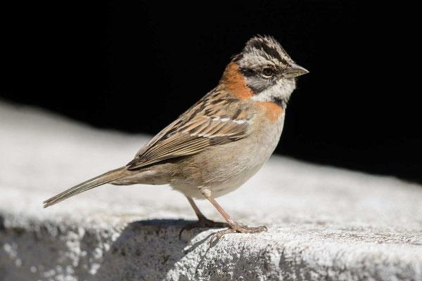 Morgenammer (Zonotrichia capensis) - Rufous-collared sparrow - 2