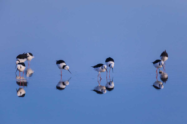 Weißgesicht-Stelzenläufer, white-headed stilt, Himantopus leucocephalus - 7