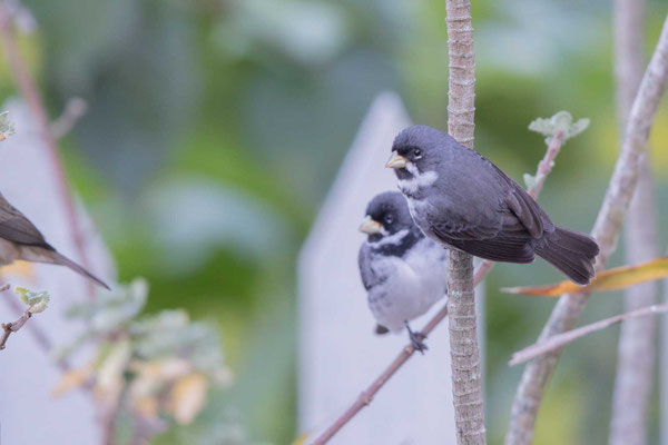 Schmuckpfäffchen (Sporophila caerulescens) - Double-collared Seedeater - 4