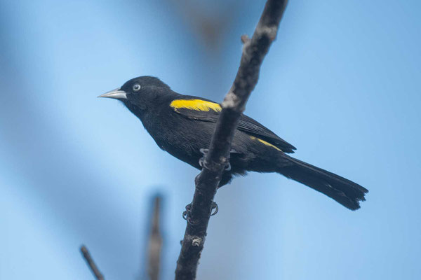 Goldschulterkassike (Cacicus chrysopterus) - Golden-winged Cacique - 3